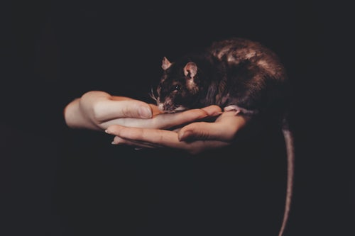 take care of rat